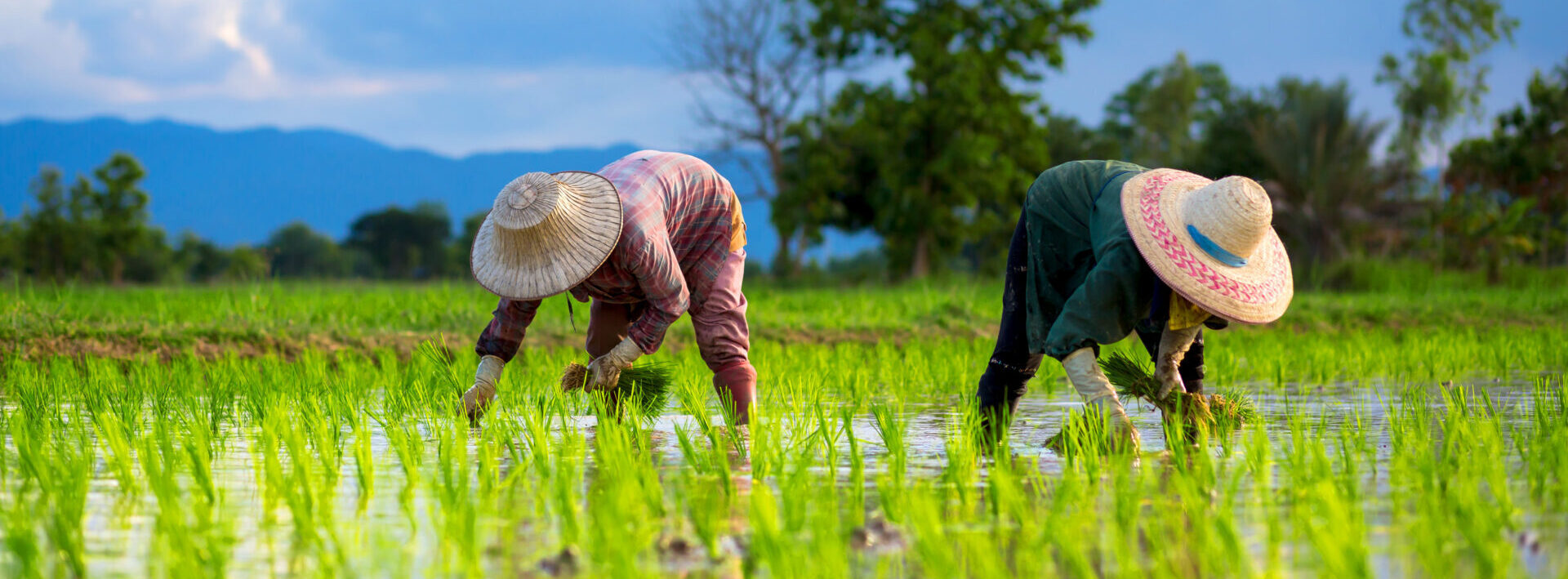 Farmers,Are,Planting,Rice,In,The,Rice,Paddy,Field,On
